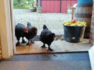 kyllinger på tur